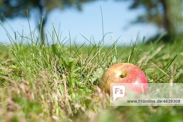 Deutschland  Apfel im Gras  Nahaufnahme