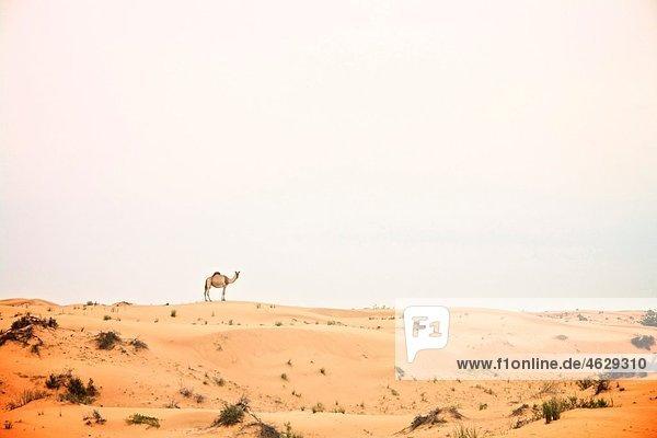 Vereinigte Arabische Emirate  Dubai  Kamel in der Wüste