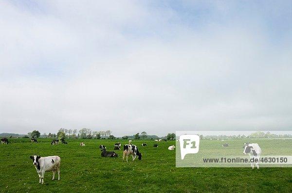 Belgien  Brügge  Westflandern  Ansicht der Kühe  die auf Landgras grasen