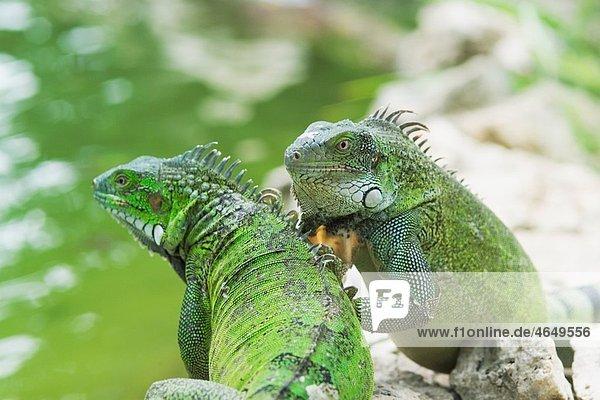 Green iguana Iguana iguana Bonaire  Netherlands Antilles  Caribbean  Atlantic Ocean