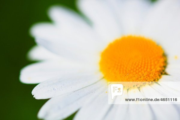 Margerite  Leucanthemum vulgare  oxeye daisy  Switzerland