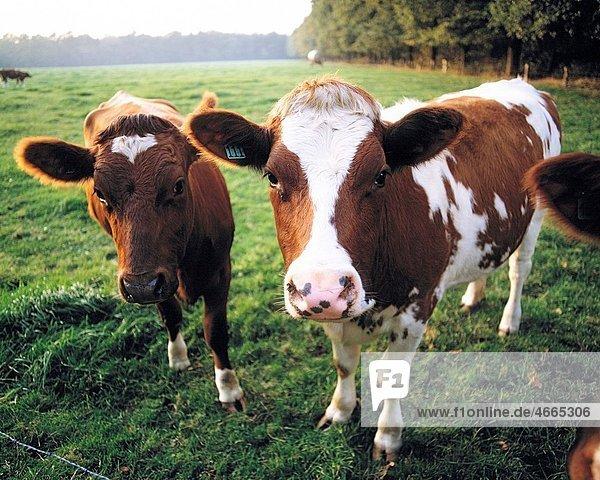 Deutschland  Landwirtschaft  Tiere  Viehhaltung  Rinderzucht  zwei braunweisse Rinder auf der Weide  Germany  agriculture  animals  stock farming  cattle breeding  two braun white cows on the pasture *** Local Caption *** Germany  agriculture  animals  st