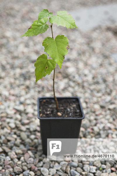 Pflanze im Topf auf Kies