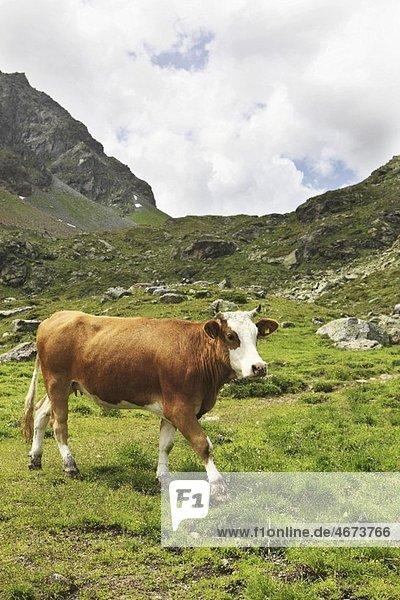 Kuh auf der Almweide Kuh auf der Almweide