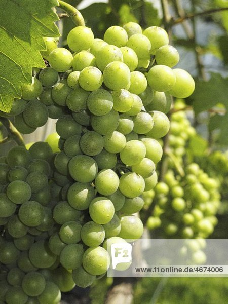 Grüne Trauben am Rebstock (Nahaufnahme)