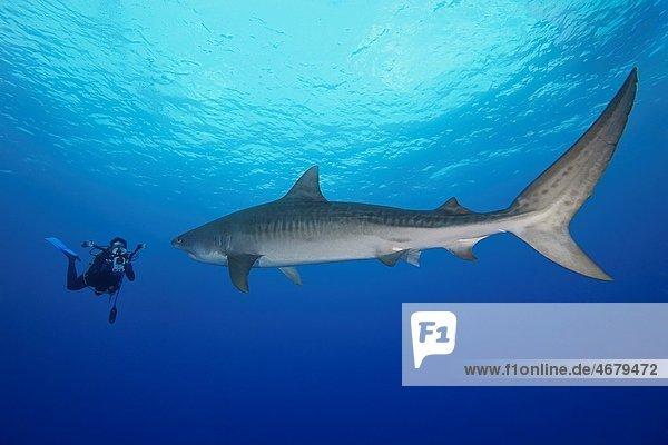 large tiger shark  Galeocerdo cuvier  and woman scuba diver with underwater video housing  Little Bahama Bank  Grand Bahama  Bahamas  Caribbean Sea  Atlantic Ocean  Model Released - MR-000053