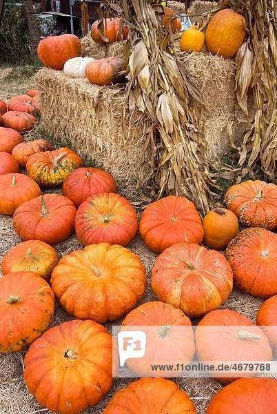 Pumpkins at roadside produce business just before Halloween