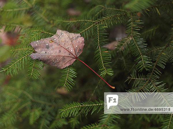 Gefallenes Ahornblatt mit Tautropfen bedeckt auf Balsam-Tanne (Abies balsamea)  Ontario  Kanada