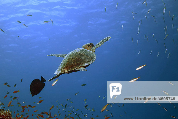 Eine Karettschildkröte (Eretmochelys imbricata)  Marsa Alam  Rotes Meer  ƒgypten  Afrika