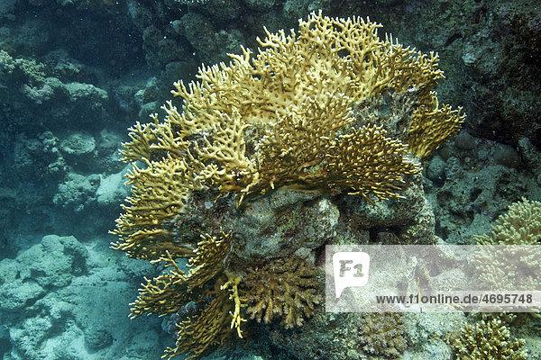 Korallenlandschaft im Roten Meer  ƒgypten  Afrika