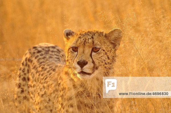 Cheetah (Acinonyx jubatus) in the high grass of the Kgalagadi Transfrontier Park  Kalahari  South Africa  Africa
