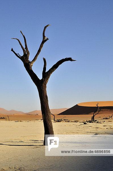 Toter Baum im Deadvlei im Morgenlicht  Namib-Wüste  Namib Naukluft Park  Namibia  Afrika