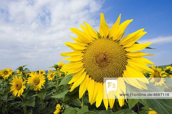 Sonnenblumen (Helianthus anuus)