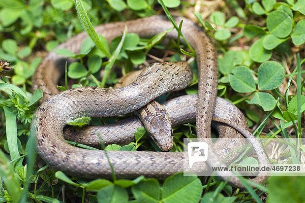 Glattnatter oder Schlingnatter (Coronella austriaca  Oligodon semicinctus  Simotes semicinctus)