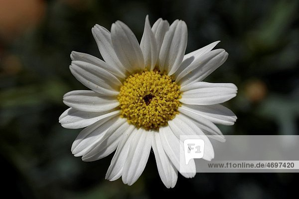 Blooming white Daisy Asteraceae