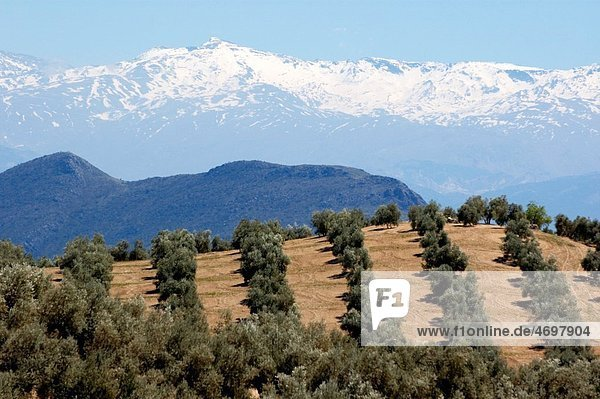 Rows of olive trees against the snowy Alpujarras mountains in Andalusia  Spain