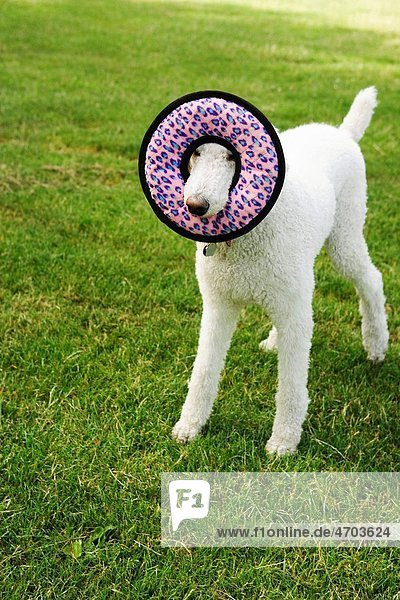 Dog with round toy in field