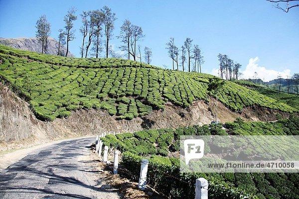 Tea plants Latin name Camellia sinensis fresh foliage and tender leaves   Tea gardens on both sides of motorable road at Munnar  Kerala  India