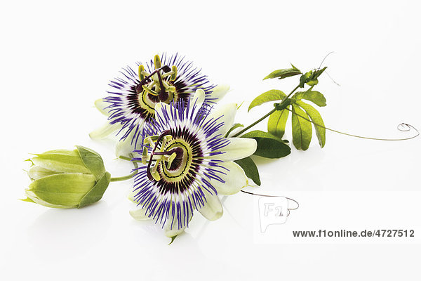 Passion flower (Passifloraceae)  with tendrils and leaves