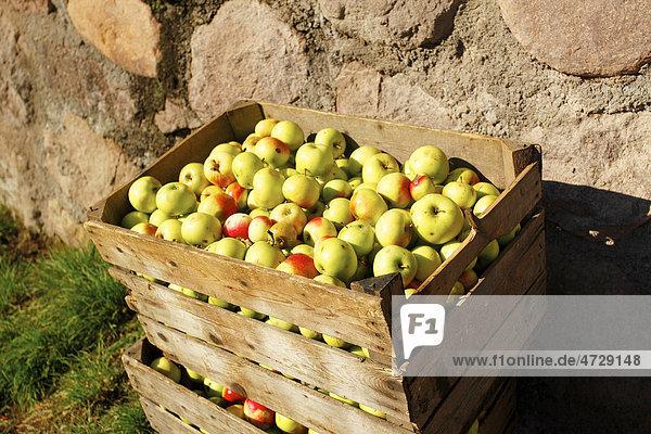 Kiste mit frisch geernteten ƒpfeln im Herbst  Jenesien  San Genesio  Bozen  Südtirol  Italien  Europa