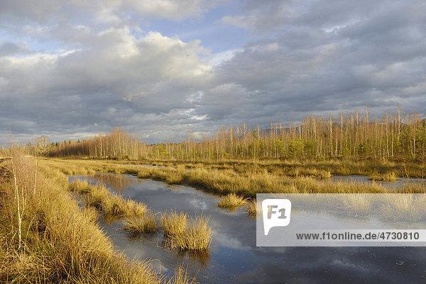 Moorlandschaft mit Teichbinsen in zugefrorenem Moorteich  Stammbecken Moor  bei Rosenheim  Voralpenland  Bayern  Deutschland  Europa