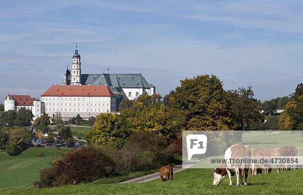 Cattle on a pasture near Neresheim Monastery  Ostalbkreis  Baden-Wuerttemberg  Germany  Europe