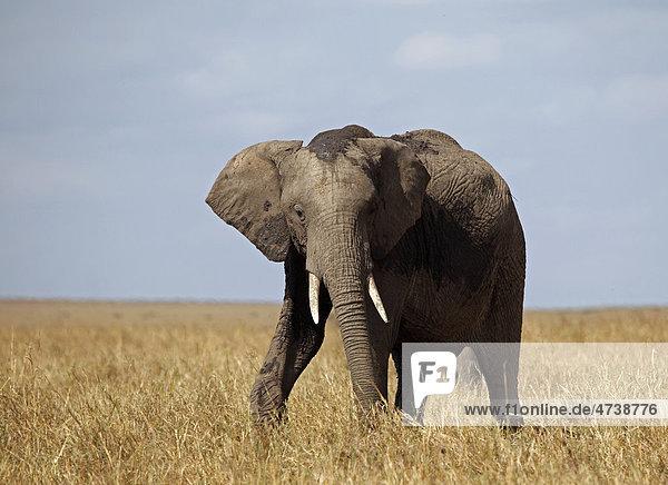 Elefant (Loxodonta africana) in Savanne  Masai Mara  Kenia  Afrika
