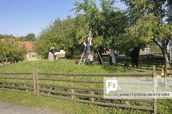 Pflaumenernte in der Kleidung der 30er Jahre  Europapark bei Neu-Anspach  Hochtaunuskreis  Hessen  Deutschland  Europa