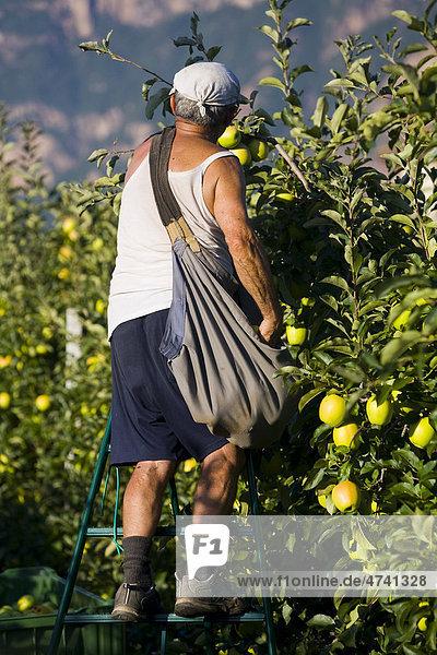 Mann bei der Apfelernte in Südtirol  Italien  Europa