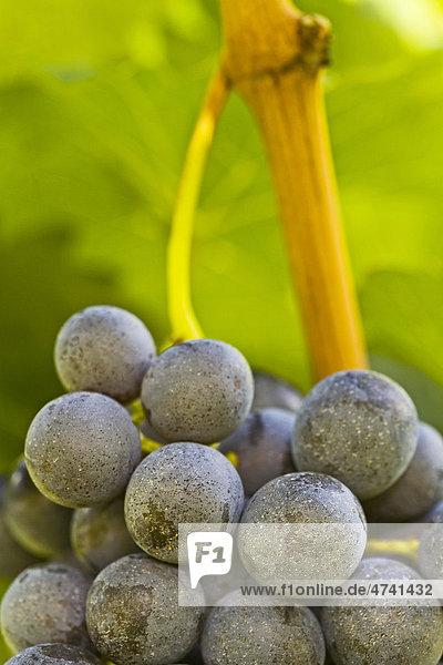 Rotweintrauben