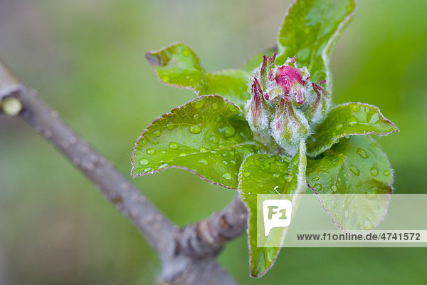Apfelblüte im Frühling Apfelblüte im Frühling