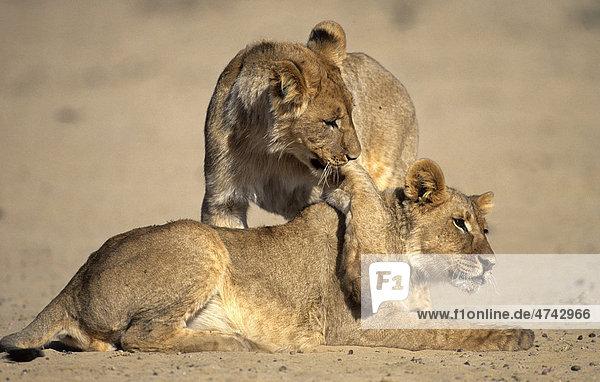 Lion (Panthera leo)  cubs playing  Kgalagadi Transfrontier Park  South Africa