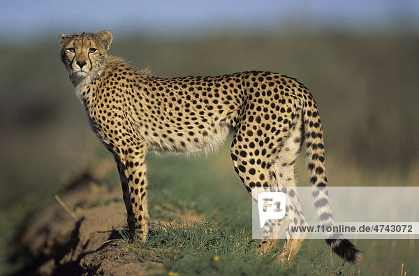 Gepard (Acinonyx jubatus)  Kgalagadi-Transfrontier-Nationalpark  Kalahari  Südafrika  Afrika