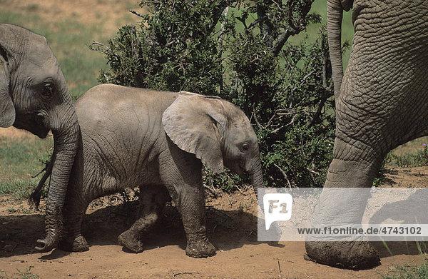 Afrikanische Elefanten (Loxodonta africana)  Kalb  Addo-Elefanten-Nationalpark  Südafrika  Afrika