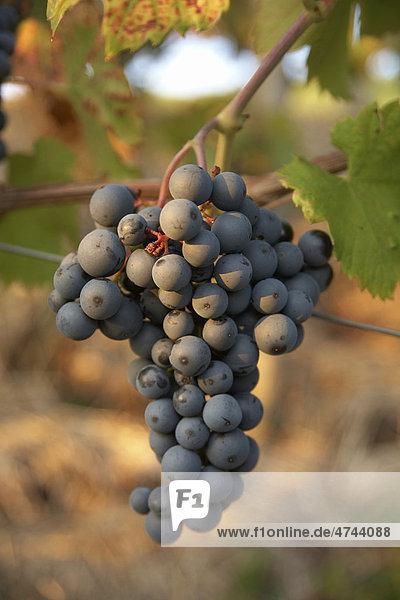 Rote Weintraube der Sorte Regent im Abendlicht