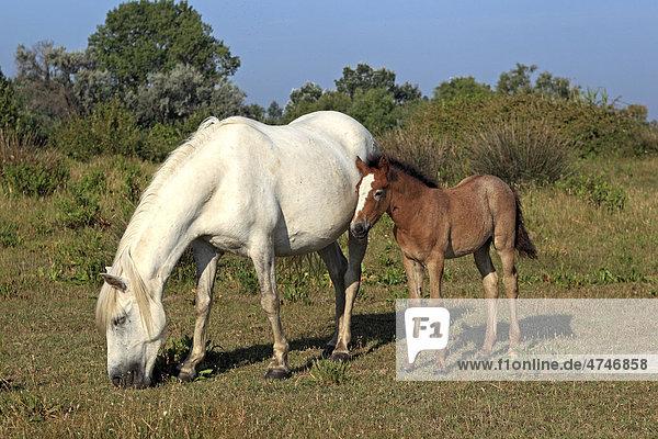 Camargue-Pferd (Equus caballus)  Stute und Fohlen  Saintes-Marie-de-la-Mer  Camargue  Frankreich  Europa