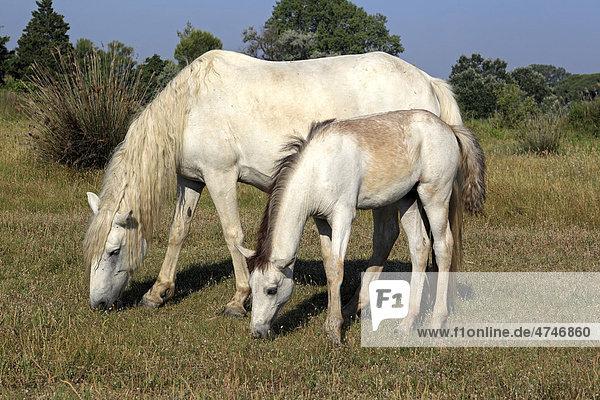 Camargue horse (Equus caballus)  mare and foal  Saintes-Marie-de-la-Mer  Camargue  France  Europe