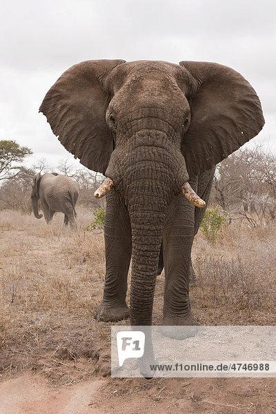Elefant (Loxodonta africana)  Tshukudu Game Lodge  Hoedspruit  Greater Krueger Nationalpark  Limpopo Provinz  Südafrika  Afrika