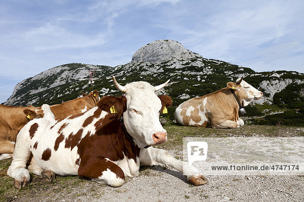 Cows lying on the ground  northern edge of the Dachstein Mountains  Krippenstein mountain  Salzkammergut  Austria  Europe
