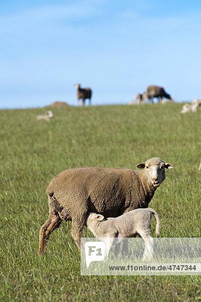 Mutterschaf säugt Lamm auf einer Farm in Ouplaas  Westliche Kapregion  Südafrika  Afrika
