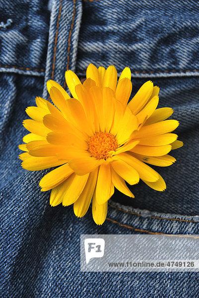 Blüte Ringelblume (Calendula officinalis)  Jeanshose