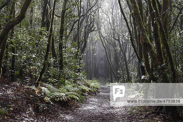 Waldweg im Lorbeerwald  Nationalpark Garajonay  La Gomera  Kanaren  Spanien  Europa Insel La Gomera Garajonay Nationalpark