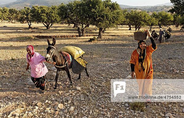 Nach dem Aufsammeln von Argannüssen (Argania spinosa) für die Herstellung von Arganöl transportiert eine Berber Familie die Nüsse auf einem Esel in Säcken verladen nach Hause  bei Essaouira  Marokko  Afrika