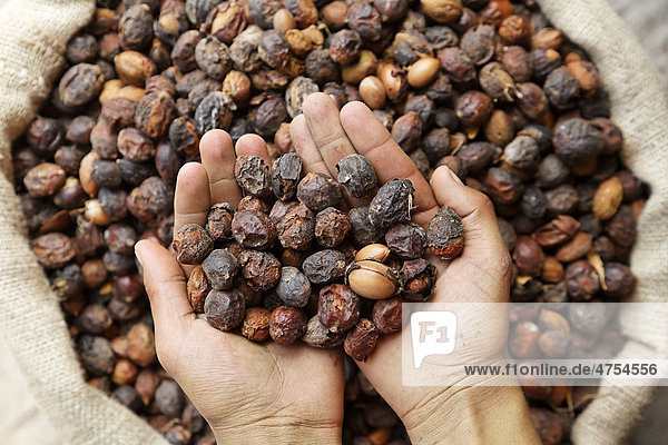 An argan oil producer controlling with his hands the delivered Argan (Argania spinosa) nuts  near Essaouira  Morocco  Africa