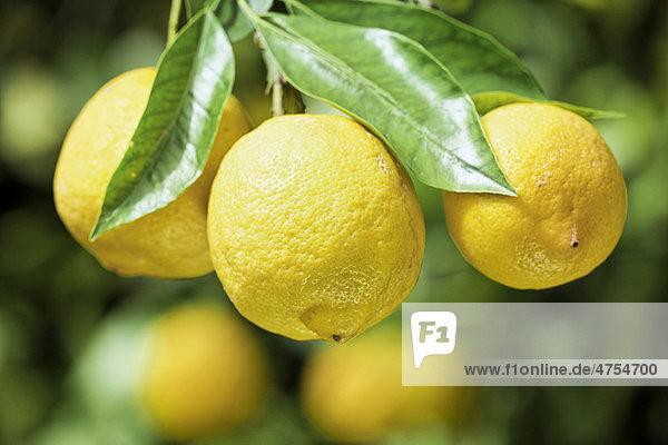 bio zitronen citrus limon an einem zitronenbaum in sizilien italien europa. Black Bedroom Furniture Sets. Home Design Ideas