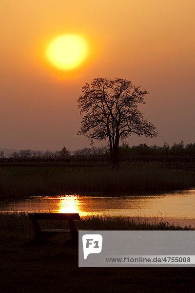 Sonnenuntergang am See mit Baum und einer Sitzbank  Nationalpark Neusiedlersee  Burgenland  Österreich  Europa