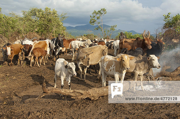 Surma herder with cattle herd near Tulgit  Omo River Valley  Ethiopia  Africa