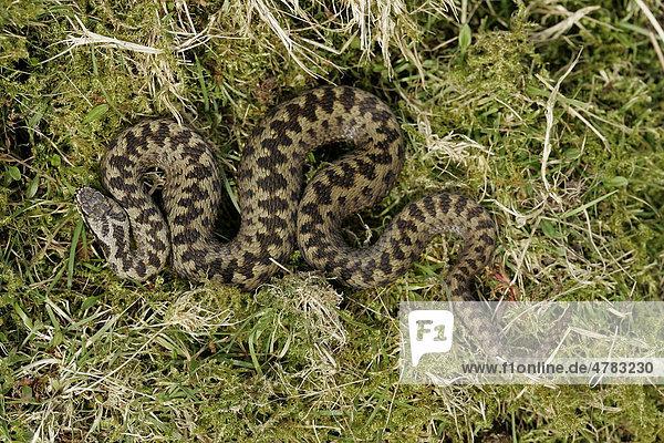 Kreuzotter (Vipera berus)  ausgewachsenes Männchen  auf moosigem Boden  Peak District  Derbyshire  England  Großbritannien  Europa