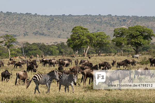 Streifengnus (Connochaetes taurinus) und Zebras (Equus quagga)  Masai Mara  Kenia  Afrika