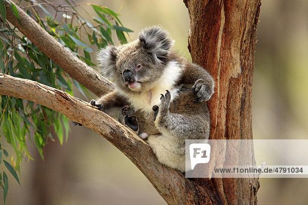koala phascolarctos cinereus alttier beim kratzen auf. Black Bedroom Furniture Sets. Home Design Ideas
